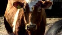 A dairy farm cow