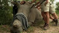 A rhino whose horn has been removed by poachers