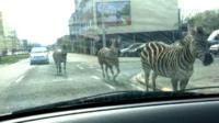 Zebras on street