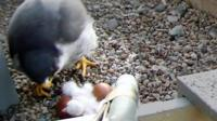 Tercel feeds chick in Norwich Cathedral nest