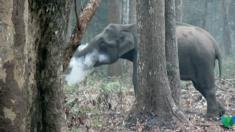 فيديو الفيل المدخن