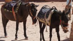 حيوانات في مدينة البتراء الأردنية