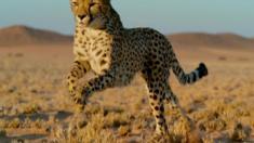 وضع العلماء أطواق تتبع على الفهود وعلى فرائسها في محاولة لمعرفة كيف تستطيع الحيوانات من تجنب الوقوع كفريسة للفهد.