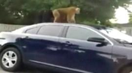 Mobile phone footage of monkey on police vehicle