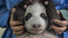 Panda born in China