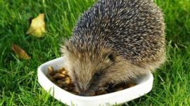 A hedgehog eating