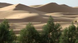 Trees growing near the Sahara desert