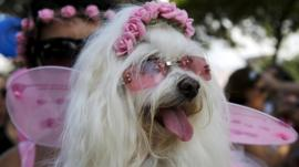A dog takes part in the 'Blocao' or dog carnival parade during carnival festivities in Rio de Janeiro, Brazil,