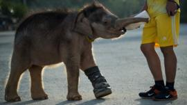 A baby elephant is learning to walk again