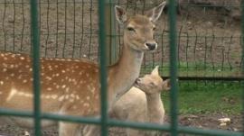 Rare baby deer