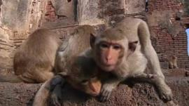 Macaque monkeys in Thailand