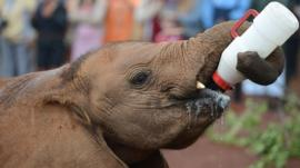Kenyan elephant calf