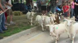 Escaping goats
