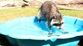 Racoon in paddling pool