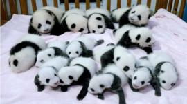 Panda cubs in China