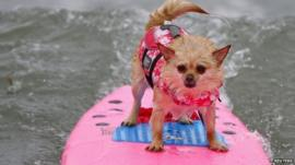 Dog surfing at competition in California