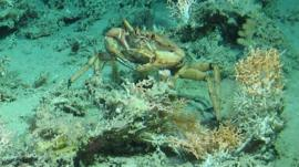 A crab in the reef