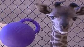 Daniel, baby giraffe at Santa Barbara zoo