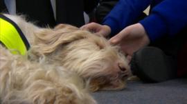 Audrey, an Italian Spinone dog