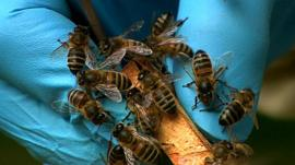 Bees on a handler's glove