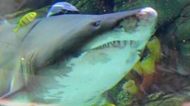 Shark in tank