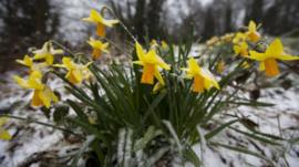 Daffodils in the snow