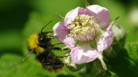 Early bumblebee (Bombus pratorum) (C) Will George