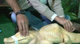 Albino alligator being given acupuncture