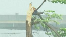 Tree broken in half by Typhoon Usagi