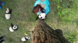 A camera up a tree looks down on the baby pandas