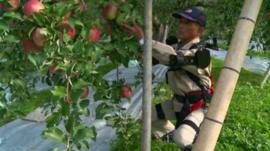 An 68-year-old apple farmer wearing bionic suit picks apples