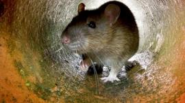 A rat in a tunnel