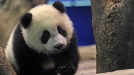 Yuan Zai , the first Taiwan-born baby panda, climbs inside an enclosure at the Taipei City Zoo on January 4, 2014
