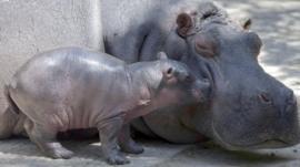 baby hippo and its mum