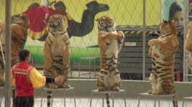 Tigers and their trainer in a China