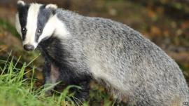 A wild badger in woodland