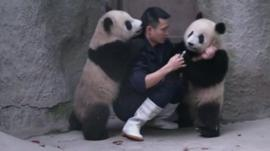 Baby pandas and breeder