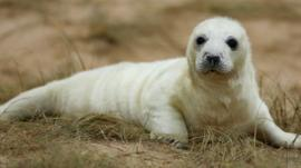A baby seal pup