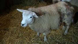 A bitten lamb