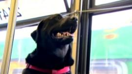 Black Labrador `Eclipse` on the bus