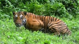 A Royal Bengal Tiger pauses in a jungle clearing in Kaziranga National Park, east of Guwahati, India