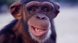 Chimpanzee grinning