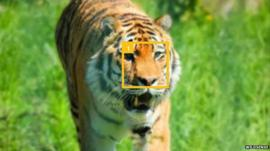 Tagging a tiger