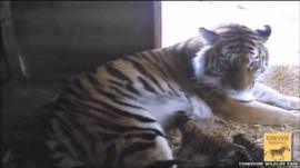Amur tiger with her cubs at Yorkshire Wildlife Park