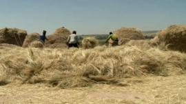 Harvesting teff