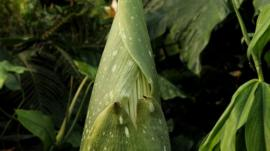 Bud unfurled to show flower
