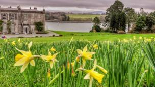 Daffodils overlooking the National Trust's Plas Newydd in Anglesey