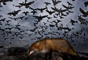 Birds fly above a fox