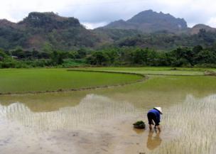 Mujer plantando arroz