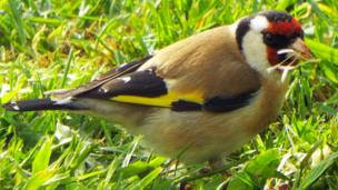 Goldfinch in a garden in Bala